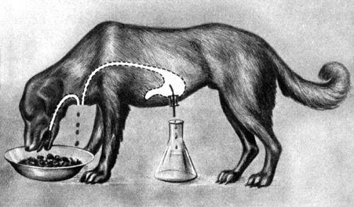 Учение И П Павлова о высшей нервной деятельности животных Классический эксперимент академика Павлова